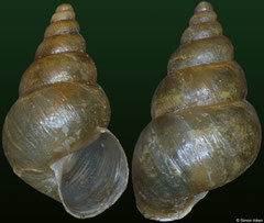 Conulinus rufoniger (Madagascar, 12,0mm, 12,3mm) F+ €9.00 (specimens for sale are 12mm and are of the same quality as the specimens illustrated)