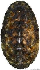 Acanthochitona hirudiniformis (Pacific Panama, 23,4mm)