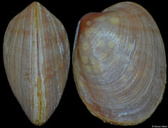 Gaimardia mesembrina (Falkland Islands, 4,2mm) (paratype)