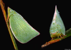 Planthopper (Colgaroides sp.), Perth, Western Australia
