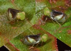 Planthopper (Auchenorrhyncha sp.), Krong Kaeb, Cambodia