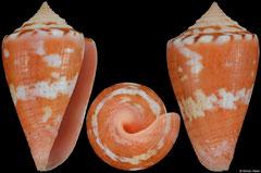 Conus abrolhosensis (Brazil, 23,9mm)