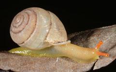 Haploptychius fischeri (Kampong Trach, Cambodia)