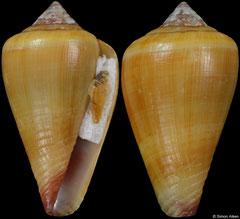 Conus cristinapessoae (Cape Verde, 18,5mm)