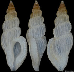 Daphnellopsis fimbriata (Philippines, 16,0mm)