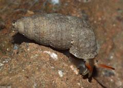 Troschelvindex jiguanensis (Jiguaní, Granma, Cuba)
