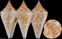 Conus paulae (Caribbean Colombia, 28,3mm)