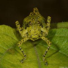 Gaudy grasshopper (Rubellia nigrosignata) adult female, Fianarantsoa, Madagascar