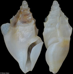 Plagiostropha vertigomaeniana (Philippines, 7,1mm and 7,1mm) F+++ €8.00 (image shows 2 different specimens)