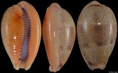 Cypraea bregeriana (New Caledonia, 26,2mm)