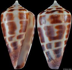 Conus bairstowi (South Africa, 28,9mm)