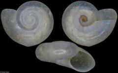 Vitrinella goniomphala (Pacific Mexico, 3,1mm)
