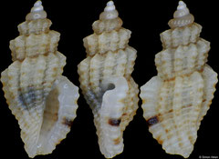 Guraleus himerodes (Philippines, 4,7mm) F+++ €1.40 (specimens for sale are approx 4mm and are of the same quality as the specimen illustrated)