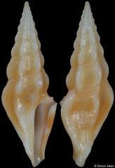 Clavus dolichurus (Philippines, 22,5mm)