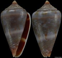Conus infinitus (Cape Verde, 16,1mm) F++ €13.00