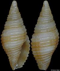 Pseudonebularia sarinoae (Philippines, 6,7mm) F++ €11.00