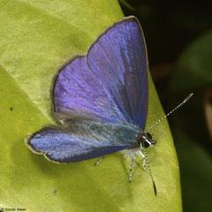 Grass blue (Arhopala sp.), Bokor Mountain, Cambodia