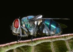 Blow-fly (Chrysomya putoria), Fianarantsoa, Madagascar