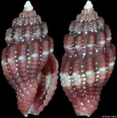 Hemilienardia homochroa (Philippines, 5,2mm) F++ €8.00