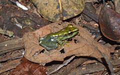 Mantellid frog (Guibemantis sp.), Andasibe, Madagascar