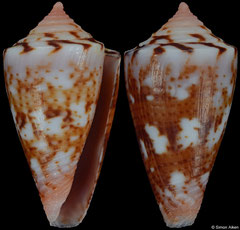 Conus cargilei (Brazil, 17,4mm) F++ €29.00