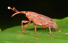 Weevil (Curculionoidea sp.), Ban Poung, Bolikhamsai Province, Laos
