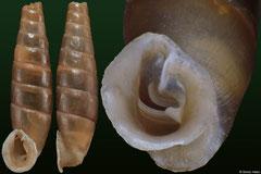 Acrotoma enguriensis (Georgia, 17,5mm)