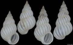 Epitonium connexum (Philippines, 4,8mm, 5,3mm)