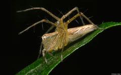 Lean lynx spider (Oxyopes macilentus), Samal Island, Philippines