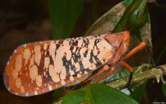 Cicada (Aphaena sp.), Bokor Mountain, Cambodia