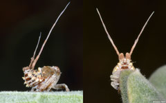 Tailed planthopper (Eurybrachyidae sp.), Broome, Western Australia