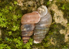 Chondropoma oculeum (N of Pedernales, Dominican Republic)