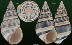 Liguus fasciatus form 'goodrichi' (Cuba) F+/F++ €13.00