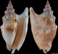 Euprotomus vomer (Amami Islands, 61,8mm)