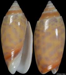 Oliva buloui colour form 'phuketensis' (Thailand, 22,3mm)