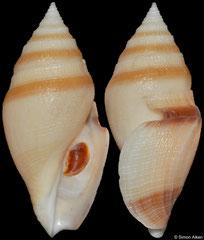 Bathytoma gordonlarki (Philippines, 58,2mm)