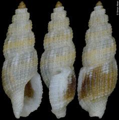 Kermia thorssoni (Philippines, 6,7mm)