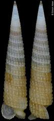Euthymella sp. nov. (Philippines, 16,0mm) F+++ €16.00