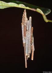 Bagworm moth (Psychidae sp.) larva, Bokor Mountain, Cambodia