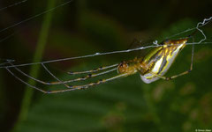 Long-jawed orb-weaver (Leucauge decorata), Balut Island, Philippines