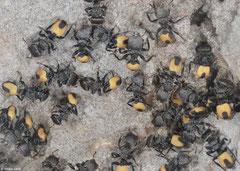Turtle ants (Cephalotes unimaculatus), Las Mercedes, Pedernales peninsula, Dominican Republic