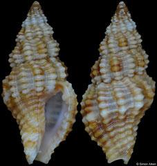 Engina obliquicostata (Philippines, 10,3mm)