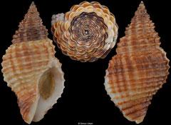 Solenosteira cancellarius (Florida, USA, 24,4mm)