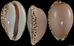 Cypraea angustata (South Australia, 29,5mm)