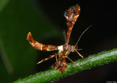 Plume moth (Pterophoridae sp.), Angkor Chey, Cambodia