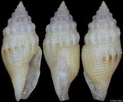 Mitromorpha poppei (Philippines, 10,1mm)