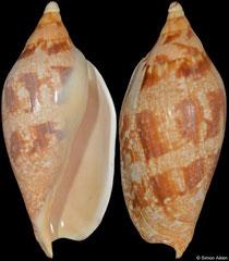 Ericusa papillosa (Victoria, Australia, 135,0mm)