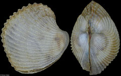 Haliris pygmaea (Philippines, 5,8mm) F++ €18.00