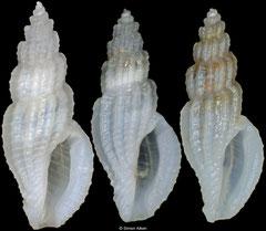 Mangelia diatula (Philippines, 7,4mm, 6,8mm, 6,8mm)