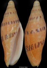 Notovoluta gardneri (Queensland, Australia, 76,6mm)